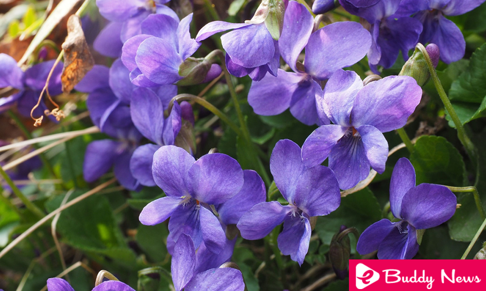Fight Dry Cough With Violet Flowers ebuddynews