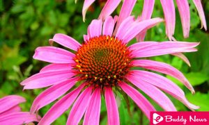 Impressive Benefits Of Echinacea To Support Your Health - ebuddynews