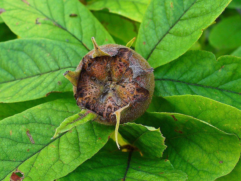 Medlar Leaves Benefits - eBuddy News